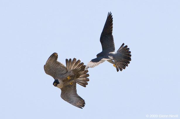 Peregrine falcons_Glenn Nevill_2009_05_1