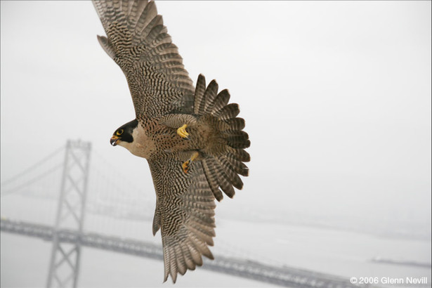 Gracie on banding day_Peregrine with Bay