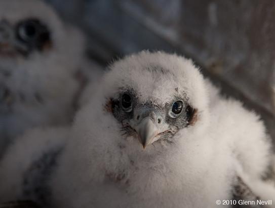Peregrine falcons_Glenn Nevill_2010_05_0