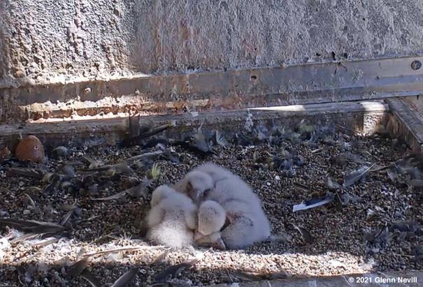 Peregrine chicks by Glenn Nevill.jpg