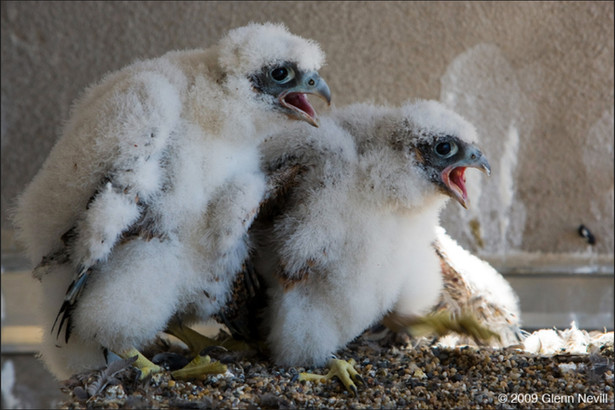 Two peregrine falcon chicks on banding d