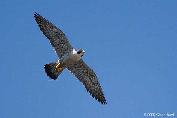 Peregrine falcons_Glenn Nevill_2009_04_2