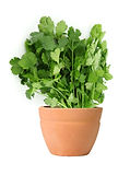 Coriander plant