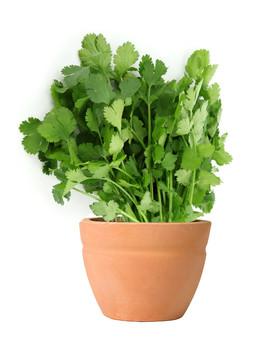How To Grow Coriander