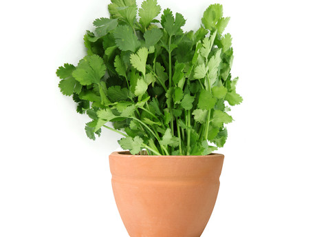 Why that herb plant you buy at the supermarket always dies, and how to stop it !