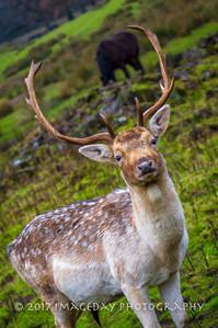 Curious Stag, Dalemain, Ullswater, Cumbria