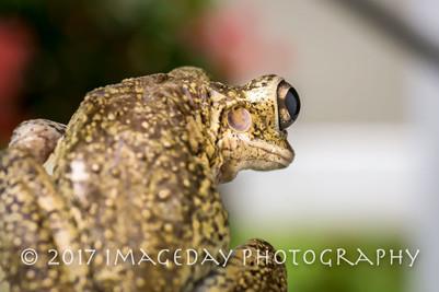 Frog, Nassau