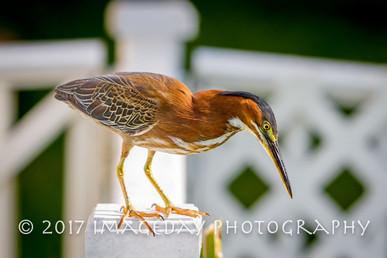 Baby heron on the fence, Nassau
