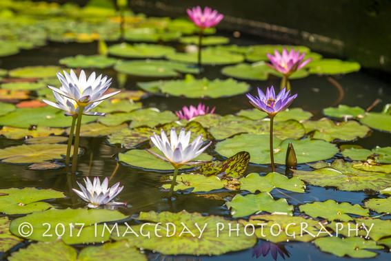 Lillies on the Water, Paradise Island, Nassau