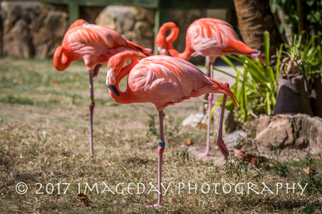 Flamingos, Ardastra Gardens, Nassau