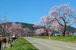 Das jährliche Mandelblütenfest in Neustadt