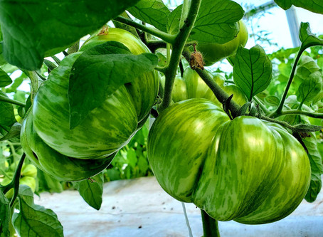 Plant Stories: Tomatoes