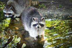 raccoon-2498595_1280