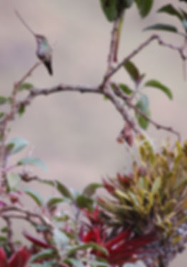 Sword-billed Hummingbird Papallacta (3).