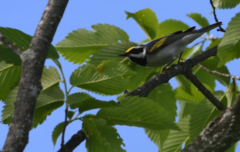 Golden-winged_Warbler_03.JPG