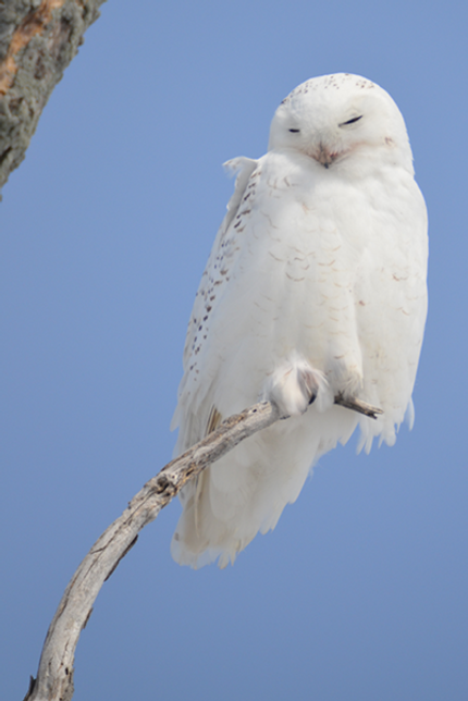 Snowy.Owl.png