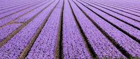 Lavendel verbinding lichaam, geest en ziel