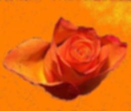 Oranjeroos knop_bewerkt.jpg