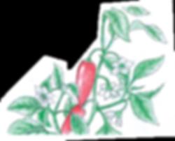 Illustration Chilli plant