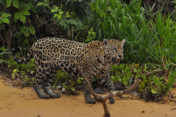 Jaguar Tours Pantanal Brazil - Bravo Bra