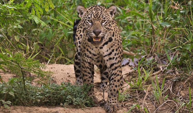 Jaguar%2520Pantanal%2520Brazil%2520-%252