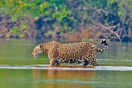 Jaguar Pantanal Brazil.jpeg