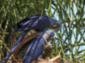 Birding Pantanal Barra Mansa Lodge.JPG