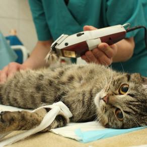 Stérilisation d'un chat ou castration