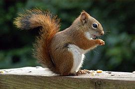 Devenir famille d'accueil pour écureuils