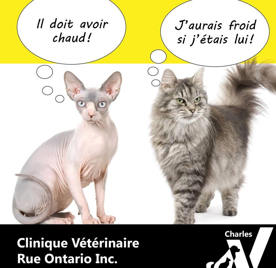 Vrai ou Faux ? Mon chat a le poil long, il doit souffrir de la chaleur!  C'est faux! Le pelage de votre compagnon agit plutôt comme un isolant naturel, qui le protège autant du froid que des chaleurs accablantes.