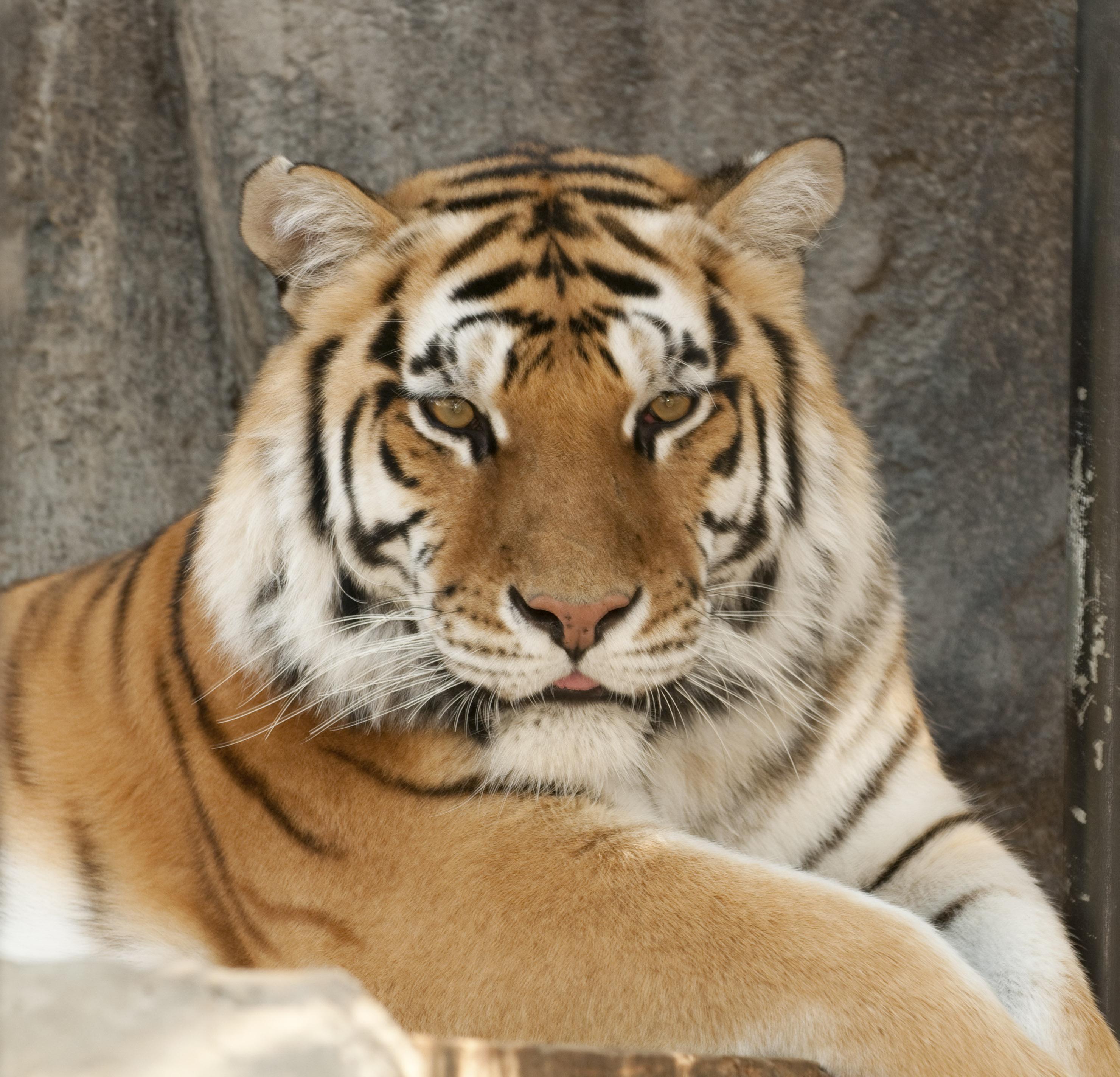 Folsom Zoo Tiger
