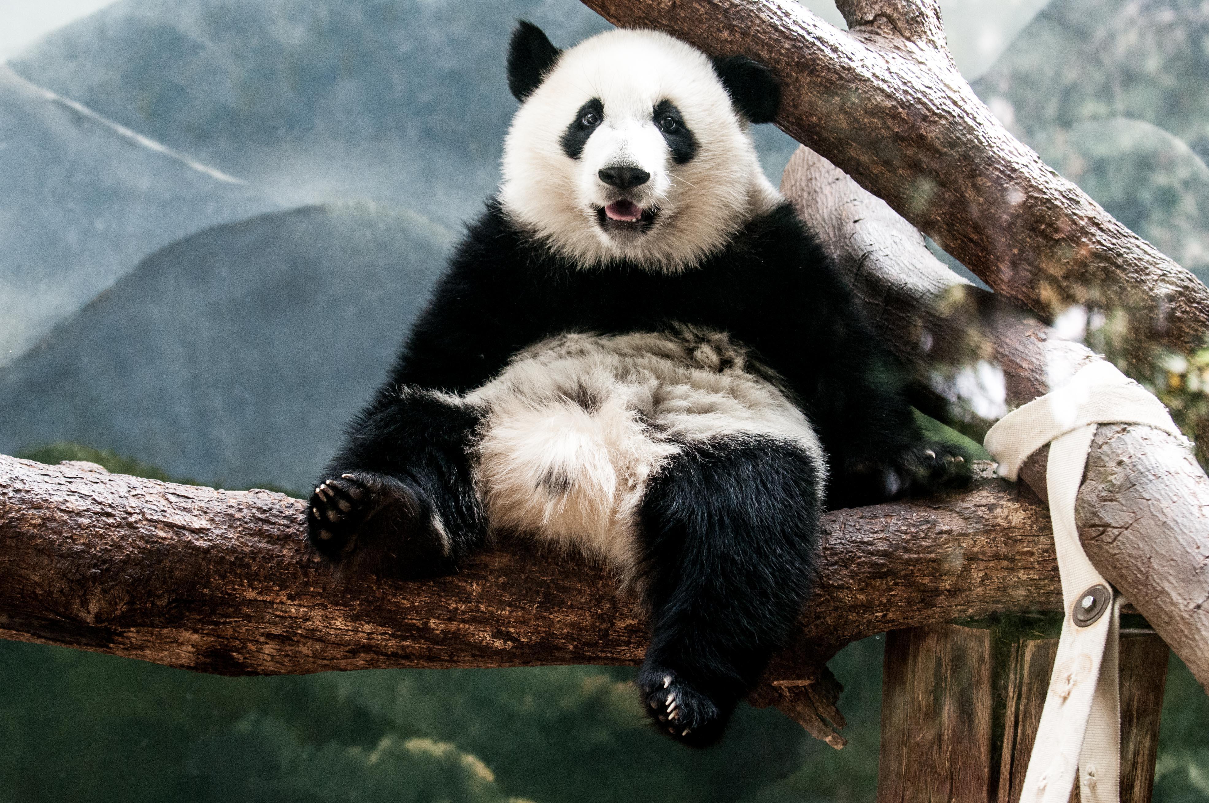 Atlanta Zoo Panda 2014