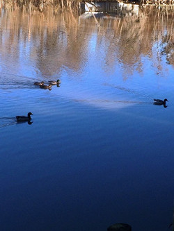 Ducks_edited