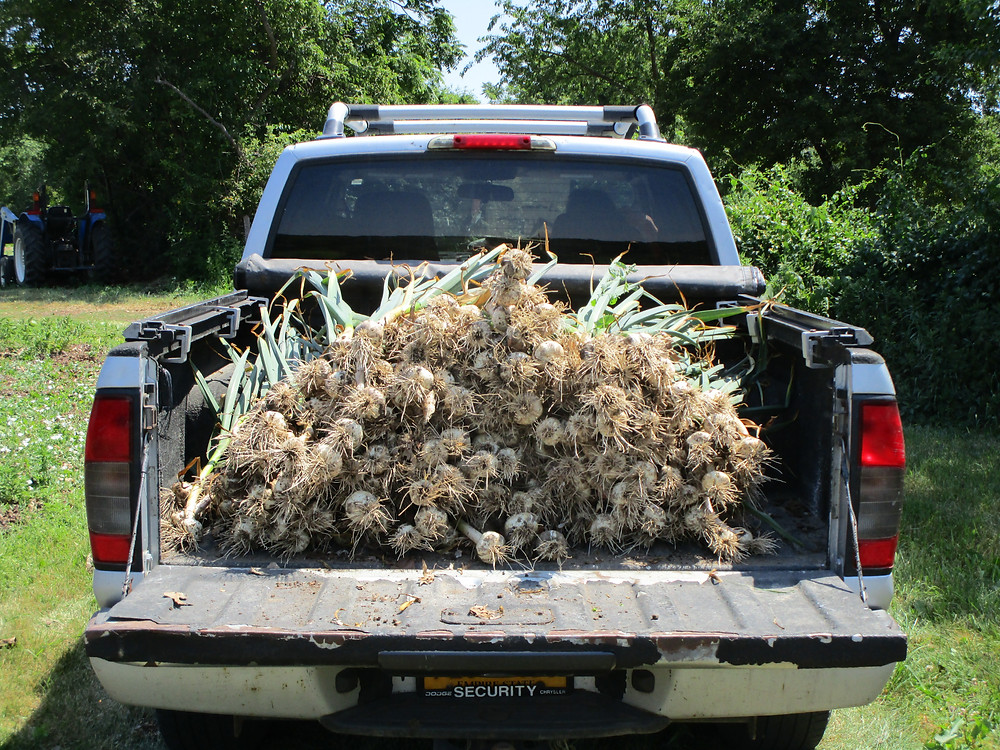 Garlic headed for the sorting station.