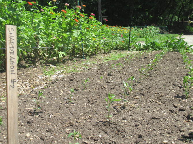 Succession Plantings, Heat Waves, Miracles