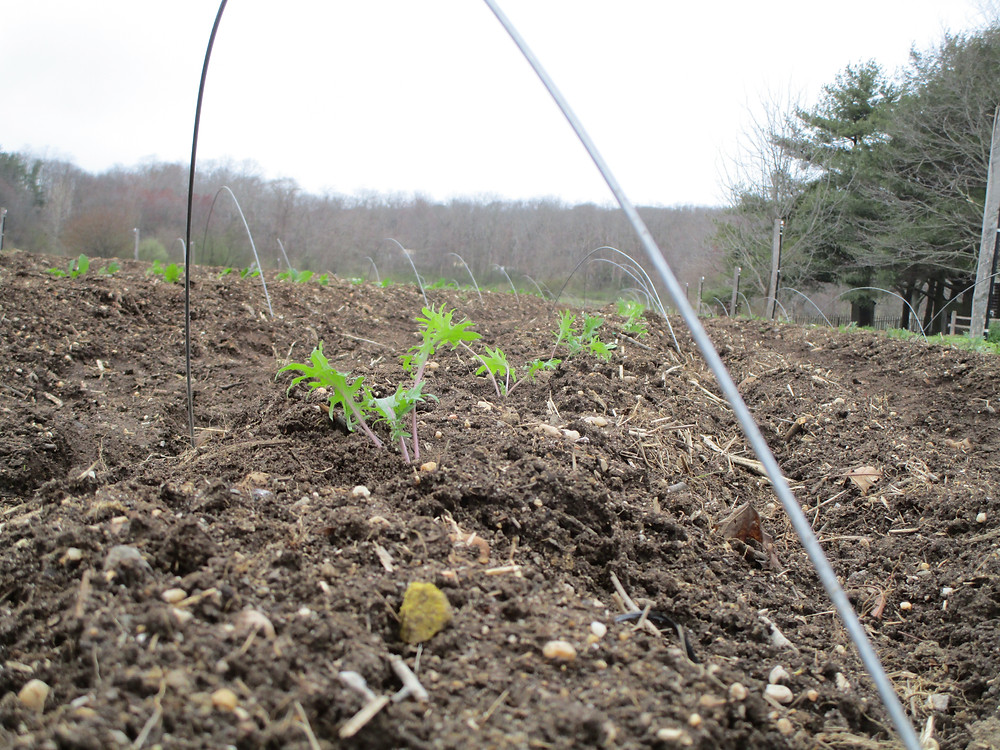 Kale transplants awaiting row cover.