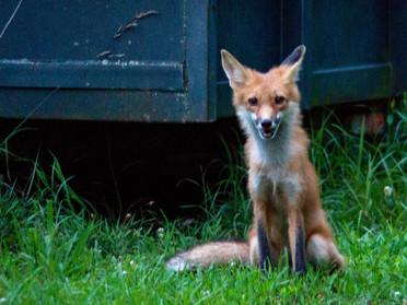 Fox Sitting Laugh.jpg