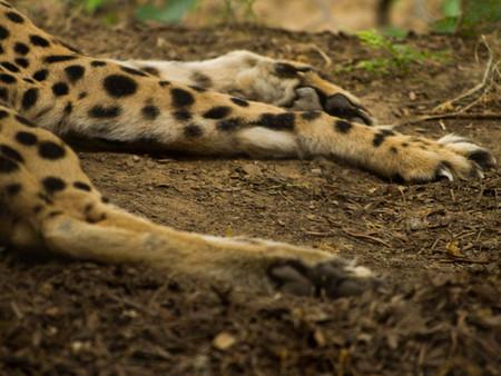 cheetahpaws (1 of 1).jpg