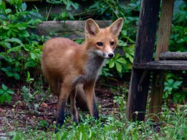 Fox Walking Ladder.jpg