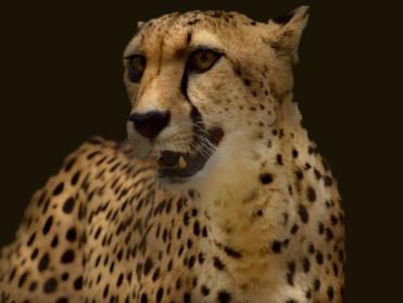 cheetah blur.jpg