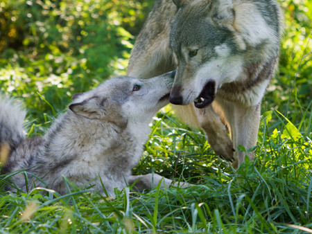 Wolf Kiss.JPG