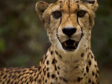 Cheetah Face LR Done.jpg