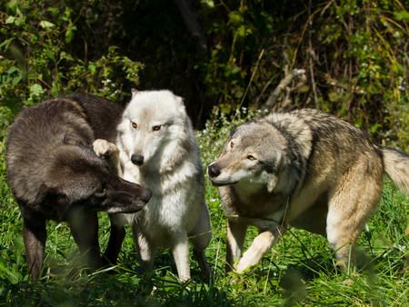 3 wolves paw.JPG