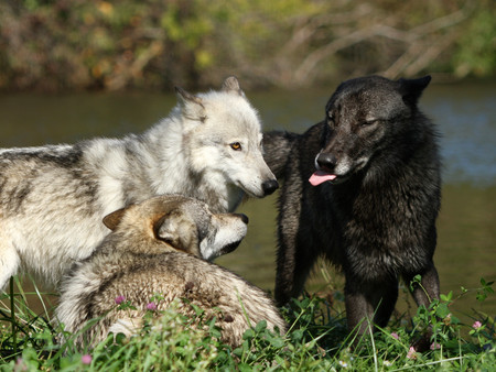 BwolfPlayingStickingOuTongue.jpg