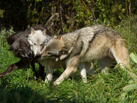 3 wolves mouth play.JPG