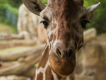 close up giraffe (1 of 1).jpg