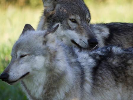 Wolf Snuggle.JPG
