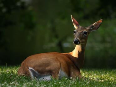Deer Laying Down in Yard.jpg