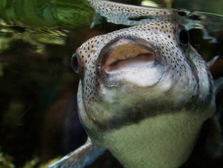 puffer fish light mouth (2 of 1).jpg