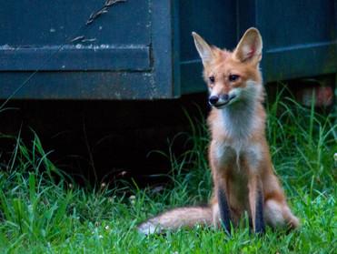 Fox Sitting Smile.jpg